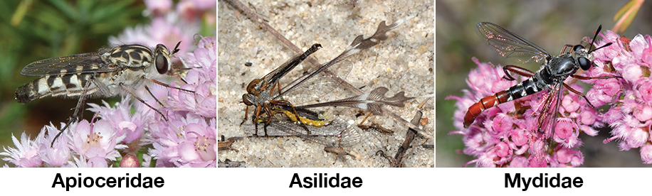 Sample of Asiloid Flies