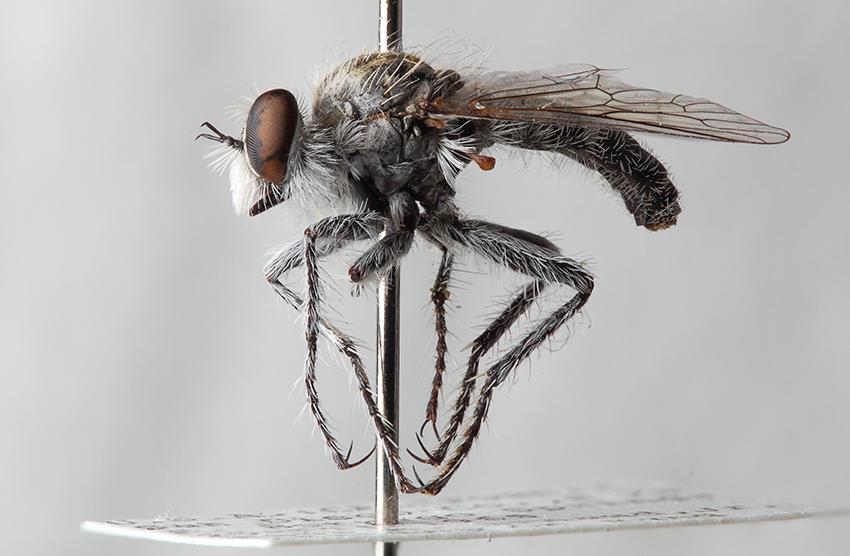 Ablautus arnaudi Wilcox, 1966 female (AAM-004648, CAS). Image by Eric Galbraith.