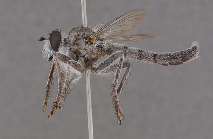 Bathypogon sp. (USNMENT00832746, Australia, Western Australia). Image by Torsten Dikow.