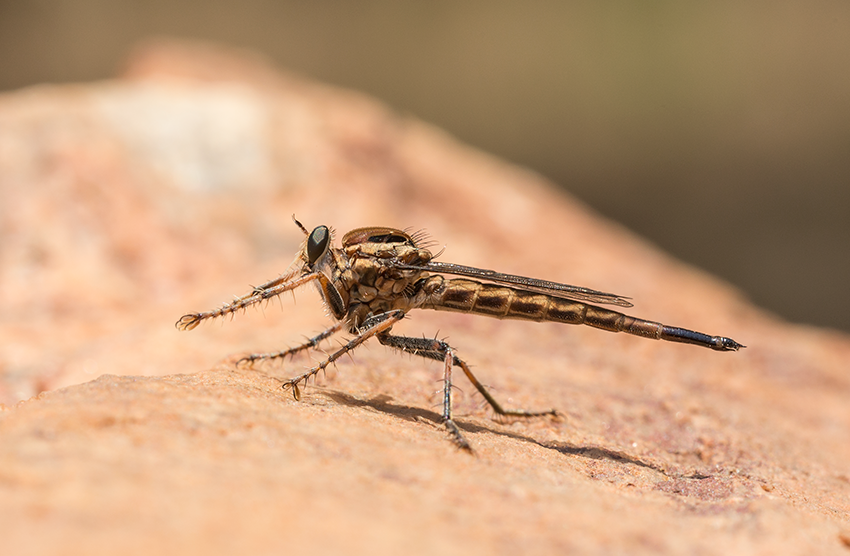 Philodicus sp. female in the field in Zambia. Image © Rob Felix.