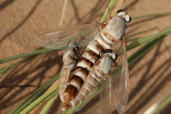 Eremomidas arabicus (in the field)