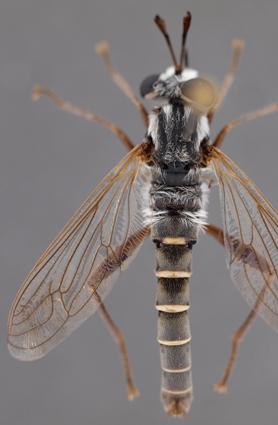 Afroleptomydas (Crossoprosopus) sp.
