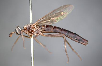 Anomalomydas mackerrasi (female)
