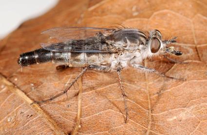 Apiocera Apiocera sp.