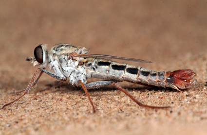 Apiocera (Pyrocera) bilineata