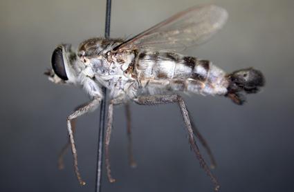 Apiocera (Anypenus) philippi Brethes, 1924