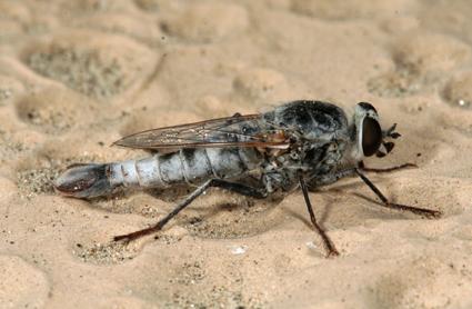 Apiocera (Pyrocera) trimaculata