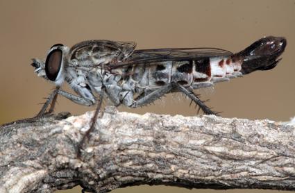 Apiocera (Pyrocera) varia