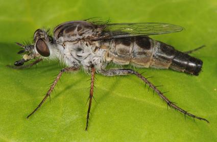 Apiocera (Apiocera) sp.