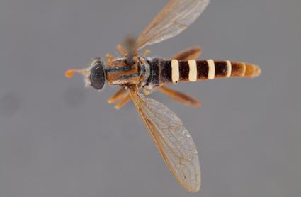 Apiophora paulseni