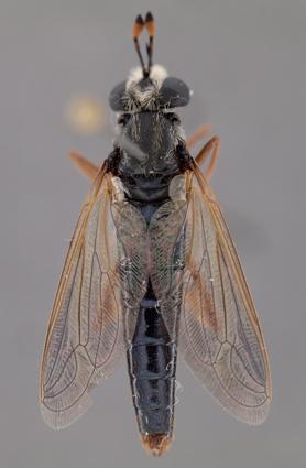 Arenomydas caerulescens