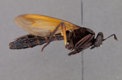 Cacatuopyga basifascia (male)