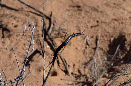 A large centipede (near Nababeep, Northern Cape).