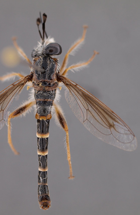 Cephalocera sp.