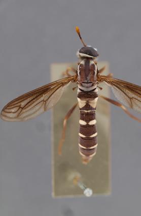 Charimydas decoratus (paratype)