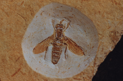 Photograph of the oldest known Mydidae Cretomydas santanensis