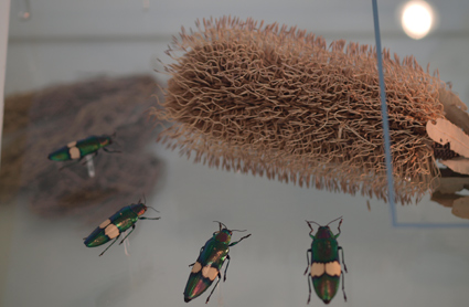 Buprestidae beetles and Proteaceae flower as part of the exhibition in the Cocoon inside the Darwin Centre 2 at the Natural History Museum.