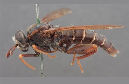 Ectyphus armipes (holotype)