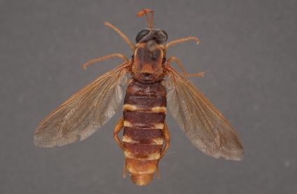 Ectyphus pinguis (female)