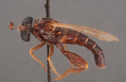 Ectyphus pretoriensis (lectotype)