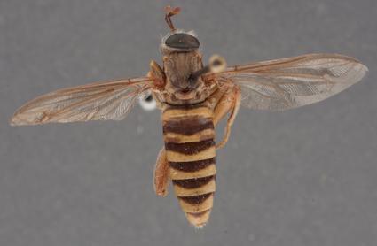 Ectyphus sp. nov. Kenya