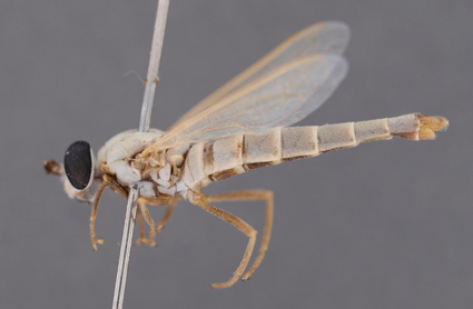 Eremomidas arabicus