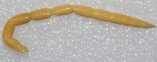 Eremomidas bek larva