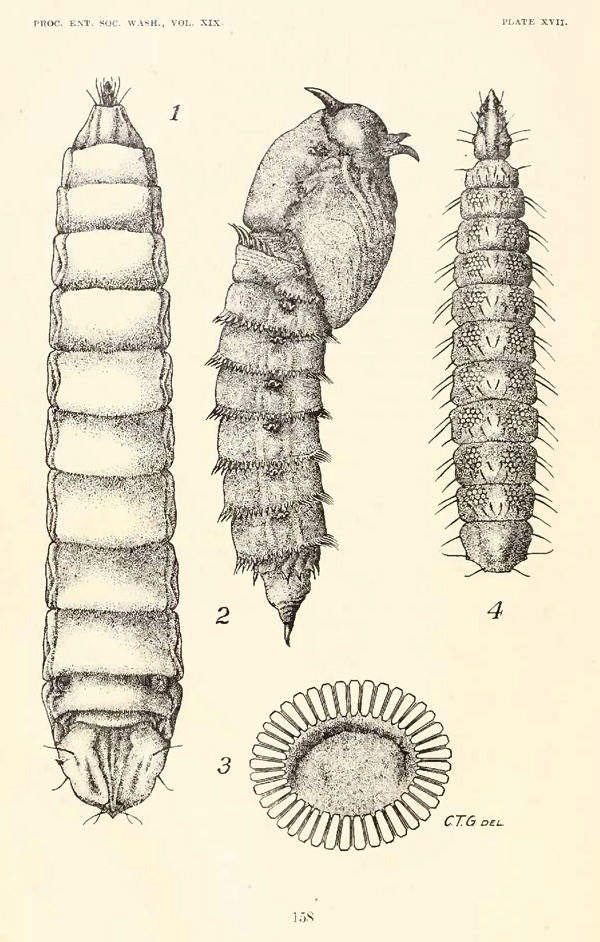 Larva (Fig. 1) and pupa (Fig. 2) of Mydas clavatus illustrated by Greene (1917).