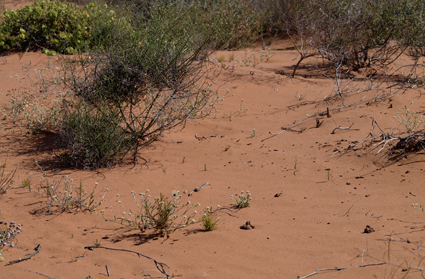 Red, vegetated sand dunes (near Klipheuwel, Western Cape) where Afroleptomydas opacicinctus (Mydidae: Syllegomydinae) was collected.