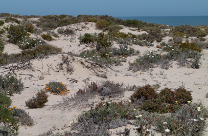 White, vegetated sand dunes at coast (McDougall's Bay, Northern Cape) where Afroleptomydas consanguinensis (Mydidae: Syllegomydinae) was collected.
