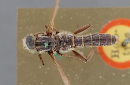 Heteroleptomydas conopsoides
