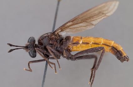 Heteromydas bicolor (holotype)