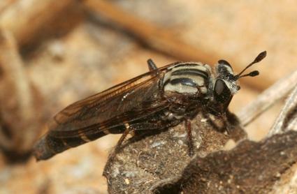 Leptomydas sardous