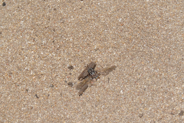 Leptomydas sardous (in the field)