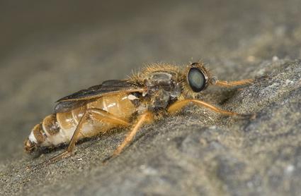Megascelus melanoproctus