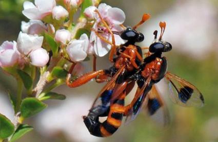 Miltinus maculipennis