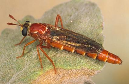 Nemomydas pantherinus