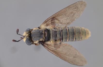 Neolaparopsis puncturatus male