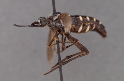 Neorhaphiomidas norrisi