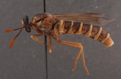 Opomydas limbatus (female)