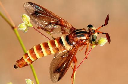 Opomydas limbatus (in the field)