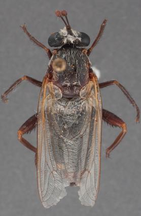Parectyphus namibiensis (holotype)