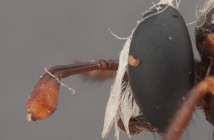Parectyphus namibiensis (head holotype)