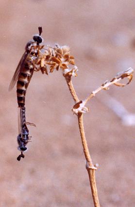 Perissocerus arabicus (in the field)