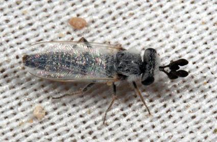Perissocerus arabicus