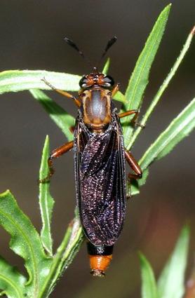 Phyllomydas parvulus