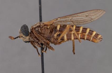 Plyomydas peruviensis (paratype)