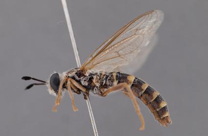 Syllegomydas (Notobates) arnoldi