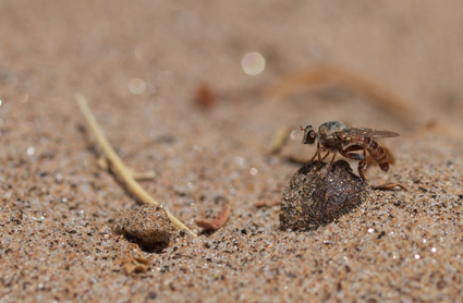 The robber fly Trichardis picta (Asilidae: Laphriinae) in the dry Kuiseb riverbed at Gobabeb.
