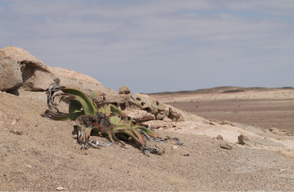 A Welwitschia mirabilis (Welwitschiaceae) photographed near Cape Cross in Namibia.